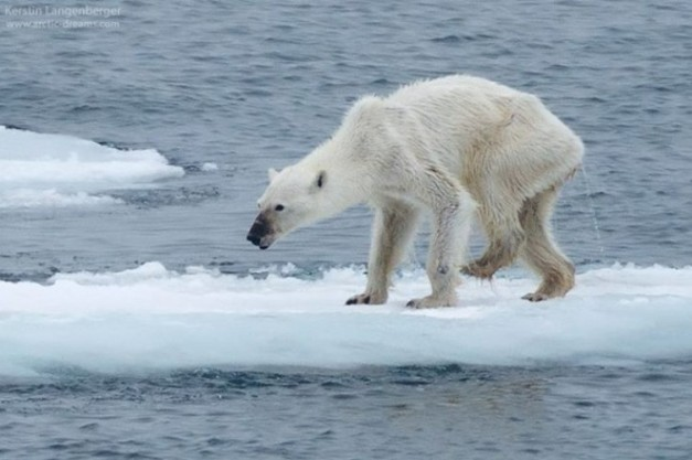 famished_polar_bear